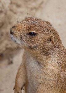 marmot-4327235_640
